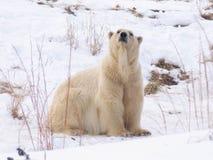 медведь приполюсный Стоковое фото RF