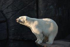 медведь приполюсный Стоковые Изображения