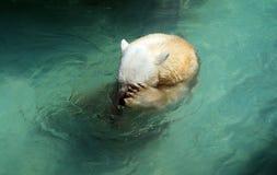 медведь приполюсный shy Стоковая Фотография