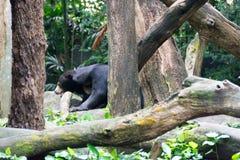 Медведь Солнця пока прячущ в лесе ища еда Медведь солнца Стоковые Изображения