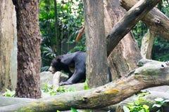 Медведь Солнця пока прячущ в лесе ища еда Медведь солнца Стоковое Фото