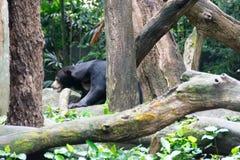 Медведь Солнця пока прячущ в лесе ища еда Медведь солнца Стоковые Фотографии RF