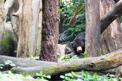Медведь Солнця пока прячущ в лесе ища еда Медведь солнца Стоковые Фото