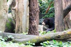 Медведь Солнця пока прячущ в лесе ища еда Медведь солнца Стоковые Изображения RF