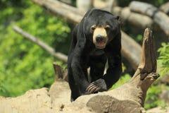 Медведь Солнця Стоковые Фотографии RF