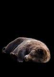 Медведь спать стоковое фото