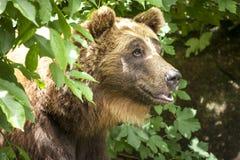 Медведь среди листьев стоковая фотография rf