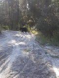 Медведь Флориды стоковое фото