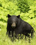 Медведь черного медведя черный что я видят стоковое изображение rf