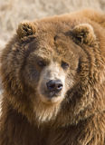 медведь Стоковые Фотографии RF