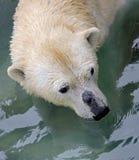 медведь 14 приполюсный Стоковое Изображение