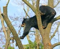 медведь 15 spectacled Стоковые Изображения RF