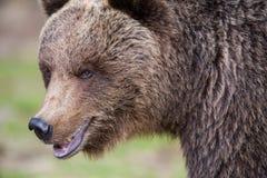 Медведь Brown в финских пущах Tiaga Стоковые Изображения