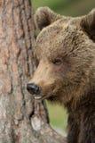 Медведь Brown в финских пущах Tiaga Стоковое фото RF
