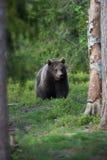 Медведь Brown в финских пущах Tiaga Стоковые Изображения RF