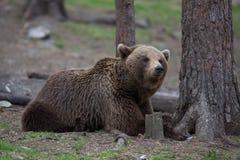 Медведь Brown в финских пущах Tiaga Стоковая Фотография RF