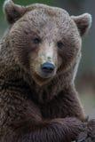 Медведь Brown в финских пущах Tiaga Стоковое Изображение RF