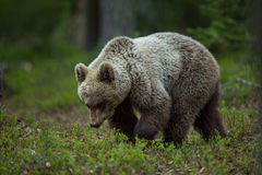 Медведь Brown в финских пущах Tiaga Стоковая Фотография