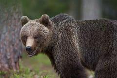 Медведь Brown в финских пущах Tiaga Стоковое Изображение
