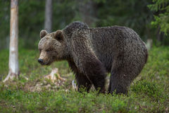 Медведь Brown в финских пущах Tiaga Стоковые Фотографии RF
