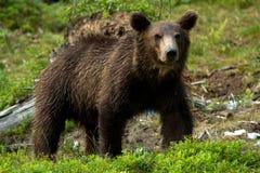 Медведь Brown Стоковая Фотография