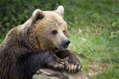 Медведь Brown Стоковое Фото