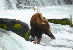Медведь Brown Стоковое Изображение