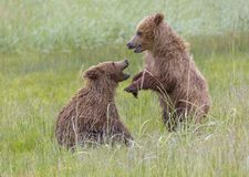 Медведь Cubs играет бой Стоковое Изображение RF