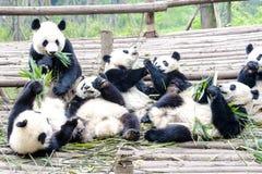 Медведь Cubs панды есть бамбук, исследовательскийа центр Чэнду панды, Китай стоковые изображения