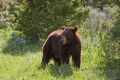Медведь Hyperphagic черный стоковые фотографии rf