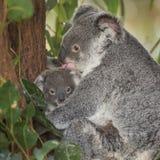 Медведь Koalo со своим уроженцем младенца к Австралии Стоковое фото RF