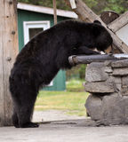 Медведь Lodge Taku Стоковая Фотография RF