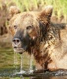 медведь snorkling стоковое фото