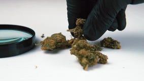 Медицинские бутоны и увеличитель марихуаны на белой таблице Конопля в мужском конце-вверх руки сток-видео