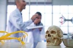 Медицинские ученые исследуют черепа стоковая фотография rf
