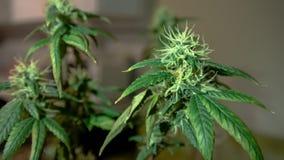 Медицинский конец-вверх бутонов марихуаны Растя конопля крытая стоковая фотография