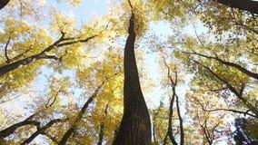 Медленная камера обозревая кроны деревьев осени видеоматериал