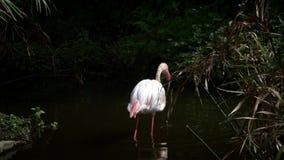 Медленное движение больше фламинго ищет еду на воде Феникоптерус роз акции видеоматериалы