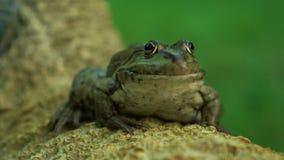 Медленно большая лягушка в природе видеоматериал