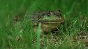 Медленно большая лягушка в природе акции видеоматериалы
