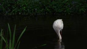 Медленно, больше фламинго ищет пищу на воде Феникоптерус роз сток-видео
