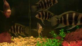 Медленно плавая заплыв рыб в аквариуме сток-видео