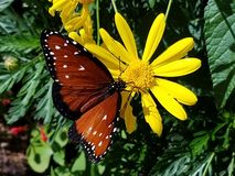 Медная бабочка на желтой маргаритке Стоковое Фото