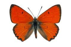 медный dispar большой lycaena стоковое изображение rf