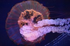 Медуза в воде Стоковая Фотография