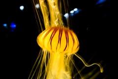 Медуза накаляет в темноте Стоковое Изображение RF