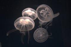медузы Стоковое Изображение RF