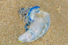 Медузы Bluebottle помытые вверх на песке Стоковое Изображение