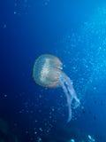 медузы u08 Стоковые Изображения