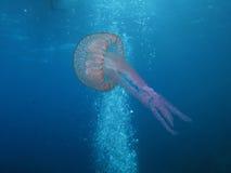 медузы u09 Стоковая Фотография